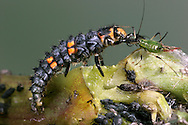 7-Spot Ladybird larva - Coccinella 7-punctata