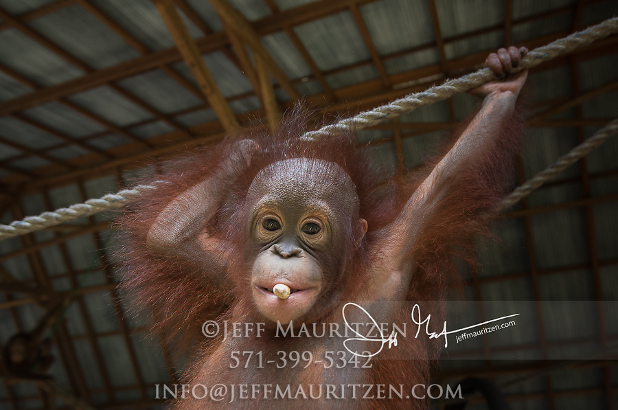 A young Bornean orangutan, Pongo pygmaeus hangs from rope and eats a peanut at the Orangutan Care Center managed by Orangutan Foundation International in Borneo, Indonesia.