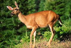 Deer at Hurricane Ridge, Olympic National Park, Washington, US