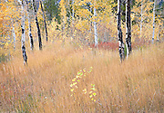 Aspen in Autumn Pasture, Idaho
