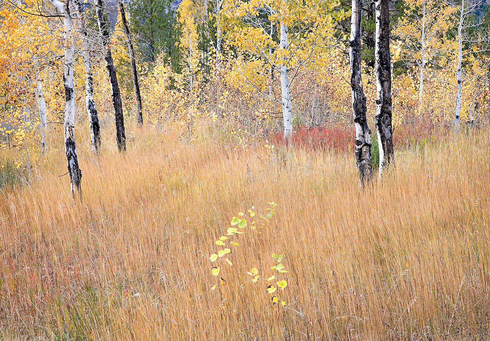 aspen in autumn pasture Idaho