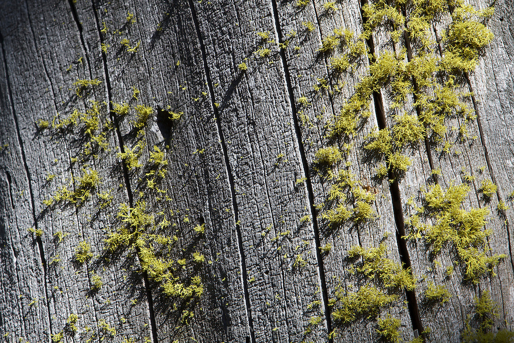 Moss growing on a dead tree trunk in DL Bliss State Park, California.