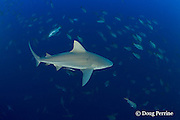 bull shark, Carcharhinus leucas, cruises through spawning aggregation of mutton snappers, Lutjanus analis, hoping to pick off a fish distracted by courtship activities, Gladden Spit & Silk Cayes Marine Reserve, off Placencia,  Belize, Central America ( Caribbean Sea )