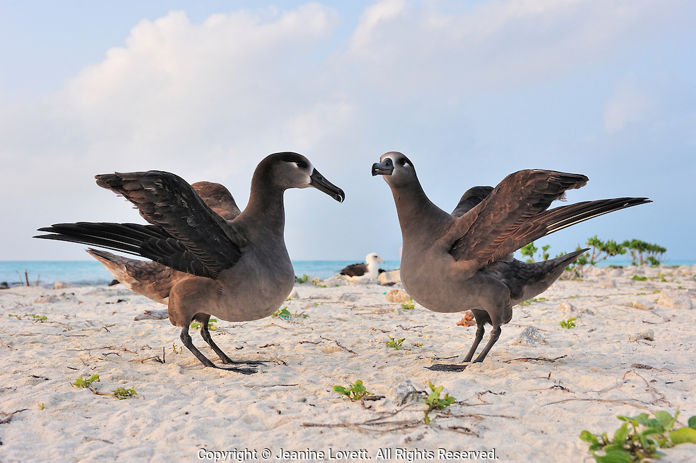 black-footed  albatross with wings spread in a courtship bonding dance.
