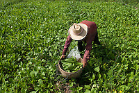 A woman gathers green from her field in Pai, Thailand