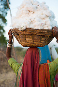 Sheela carrying a basket of organic cotton on their farm in  Sendhwa, India.<br /> <br /> Sheela and Manga have recently converted to organic cotton farming with help from the Aga Khan Foundation who are working in partnership with the C&A Foundation.