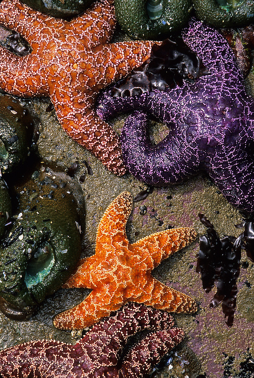 Colorful sea stars exposed at low tide along the coast in Olympic National Park in Washington.