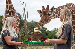 © Licensed to London News Pictures. 18/07/2018. Wild Place Project, Blackhorse Hill, Bristol, UK. Giraffe keepers Charlotte Lennon and Ellie Adams feed a birthday cake to the giraffes to celebrate that the Wild Place Project is five years old on Sunday (July 22). It's been over a year since three young giraffe arrived at Wild Place Project. Giraffes Dayo, Gerry and Tom, arrived at the attraction last May 2017. The three young males have done plenty of growing in that time, but have not yet reached full maturity and will get even taller yet. The biggest giraffe, Gerry, celebrated his fourth birthday in May 2018 and now stands at more than 4m (13ft) tall. Tom is the smallest of the three, at just two and a half years old, and in the middle is Dayo, who turned three in March. Giraffe reach maturity at around five years old and can grow up to 5m (16.5ft) tall. Photo credit: Simon Chapman/LNP