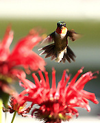 humming birds, before committing themselves to feed at a flower, pause to look around for danger. This male humming bird saw me,decided it was safe and bore down to feed just after I tripped the shutter.  The sun's light bleached his irridescent neck, on one side, leaving the shadowed side the normal ruby red. no property release