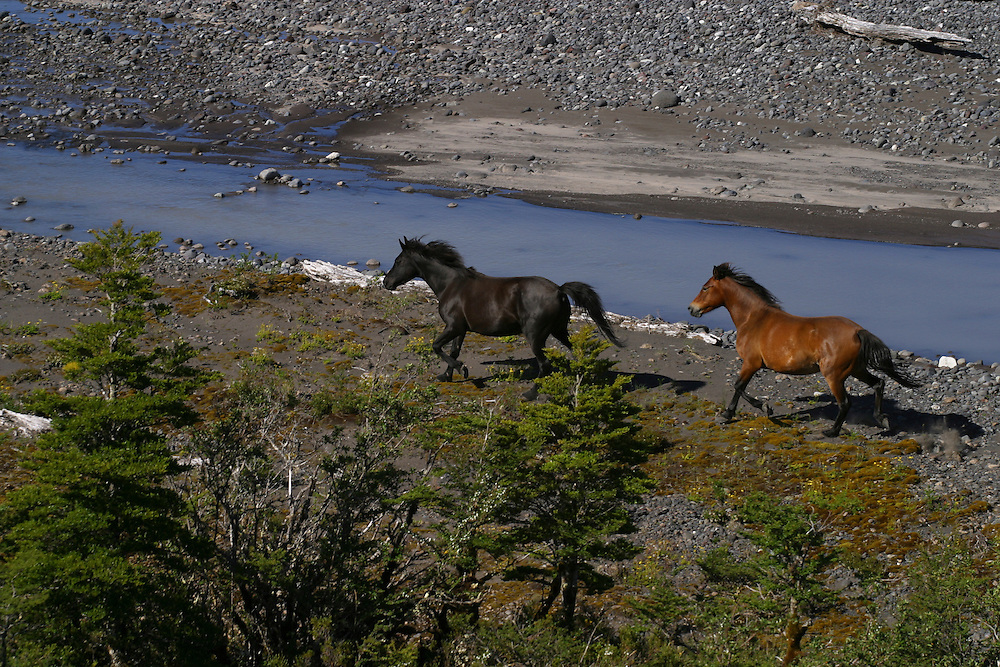 Wild horses run across the glacial plain near Lago Meullin, in the Aisen region of Patagonia, Chile, Feb. 6, 2004. Daniel Beltra/Greenpeace.