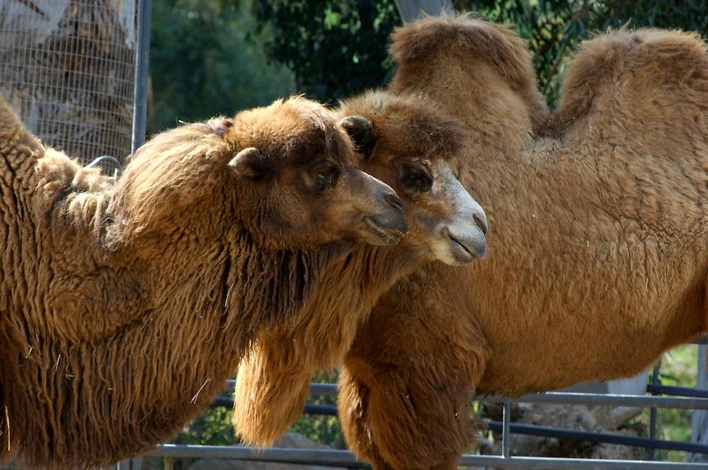 Mongolian Camel (Gobi carnel), San Diego Zoo, San Diego, California, United States of America
