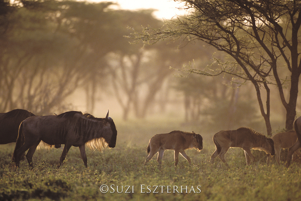 Wildebeest<br /> Connochaetes taurinus<br /> Females with calves in acacia woodland<br /> Ngorongoro Conservation Area, Tanzania