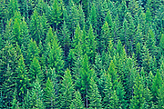 Coniferous forest on hillside of Monashee Mountains, Nancy Green Provincial Park, British Columbia, Canada