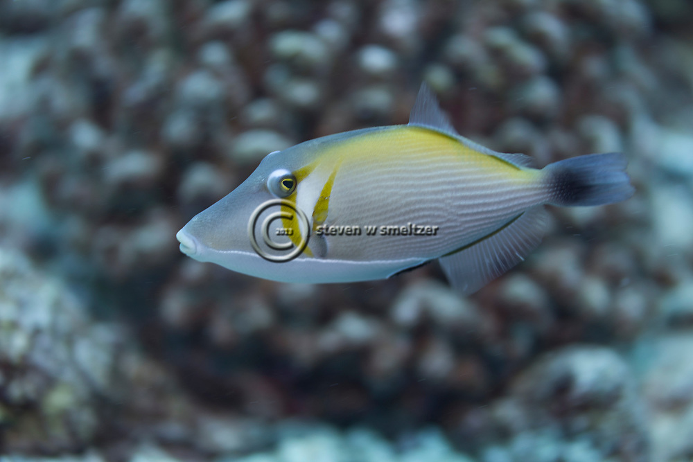 Lei Triggerfish, Sufflamen bursa, (Bloch & Schneider, 1801), Maui, Hawaii
