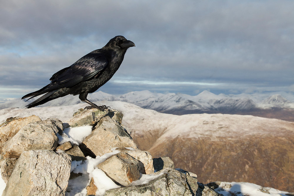 Raven (Corvus corax) perched on summit cairn in Glen Coe, Scotland looking for food scraps left by walkers