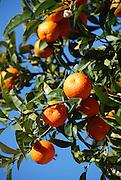 Ripe Oranges on a tree