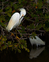Snowy Egret in a Mangrove Tree Preening at Merritt Island National Wildlife Refuge. Image taken with a Nikon Df camera and 300 mm f/4 lens (ISO 100, 300 mm, f/4, 1/1250 sec)