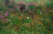 AE2MG1 Rich plant diversity in a roadside verge on small country road Cornwall England