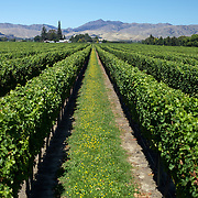 Sweeping views of vineyards with a stunning mountain range back drop in the Marlborough Wine Region, Blenheim,  South Island of New Zealand..The Marlborough wine region is New Zealand's largest wine producer. The Marlborough wine region has earned a global reputation for viticultural excellence since the 1970s. It has an enviable international reputation for producing the best Sauvignon Blanc in the world. It also makes very good Chardonnay and Riesling and is fast developing a reputation for high quality Pinot Noir. Of the region's ten thousand hectares of grapes (almost half the national crop) one third are planted in Sauvignon Blanc. .Free draining soils and warm growing conditions mean the South Island region is perfectly suited to wine production. Producing a full range of wine varieties, Marlborough turns out arguably the best Sauvignon Blanc in the world. Most Marlborough vineyards are found around the main centre of Blenheim,  with dry mountains rising up behind, Marlborough, New Zealand, 10th February 2011. Photo Tim Clayton