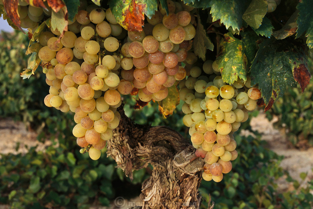 White grapes ready for harvest near Castillo de Davilillo, La Rioja Region, Spain.
