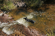 A female Australian Cattle Dog, or Queensland Blue Heeler, at Gardner Canyon, Coronado National Forest, Sonoran Desert, Sonoita, Arizona, USA.  The female dog is hearing imapired.