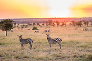 Zebras at sunset, Serengeti, Tanzania
