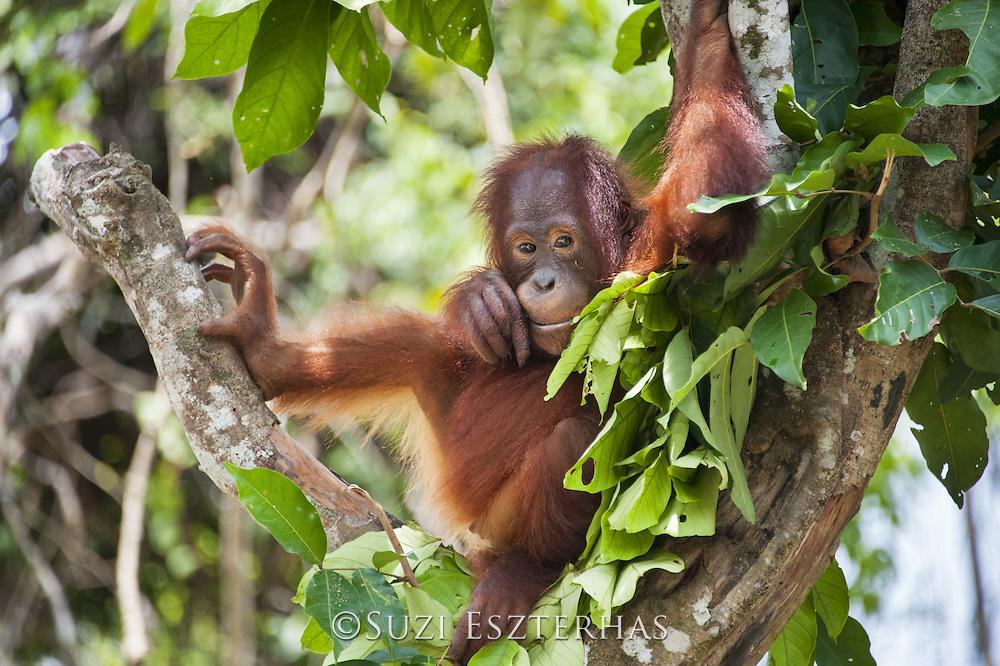 Bornean Orangutan <br /> Pongo pygmaeus<br /> Sub-adult<br /> Tanjung Puting National Park, Indonesia