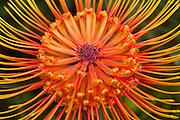 Protea, Kula Botanical Garden, Upcountry, Maui, Hawaii