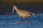 Shorebirds, Waders