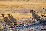 Cheetahs in Moremi National Park, Botswana