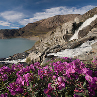 Greenland, Disko Bay, Fireweed blossoms by waterfall cascading down mountain walls in fjord near Kangilerngata Sermia Glacier on summer evening