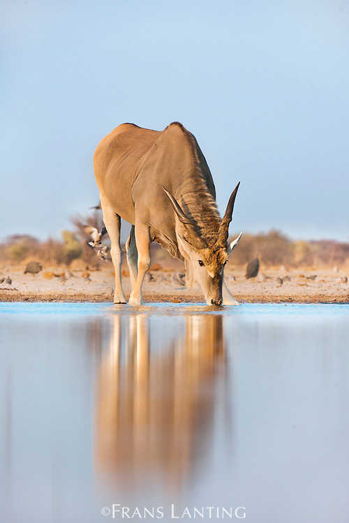 Eland male drinking at waterhole, Taurotragus oryx, Etosha National Park, Namibia