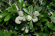 Karo Pittosporum crassifolium (Pittosporaceae)HEIGHT to 10m. Small evergreen tree or large shrub. BARK Blackish. BRANCHES Congested. LEAVES Leathery, to 8cm long and 3cm wide, ovate to lanceolate and blunt-tipped; dark green above, paler and woolly below with slightly inrolled margin. REPRODUCTIVE PARTS Flowers, in lax clusters, have 5 deep red petals and yellow anthers. Fruit is an ovoid capsule, to 3cm long, matt and light green, with shiny seeds. STATUS AND DISTRIBUTION Native of New Zealand, tolerant of salt spray so planted for coastal hedging and naturalised in parts of SW England.