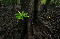 A single seedling of a Red Mangrove with bright green leaves grows next to the trunk of a Bruguiera mangrove.  Knee-like roots of Bruguiera mangroves cover the ground at low tide along a mangrove lined river.