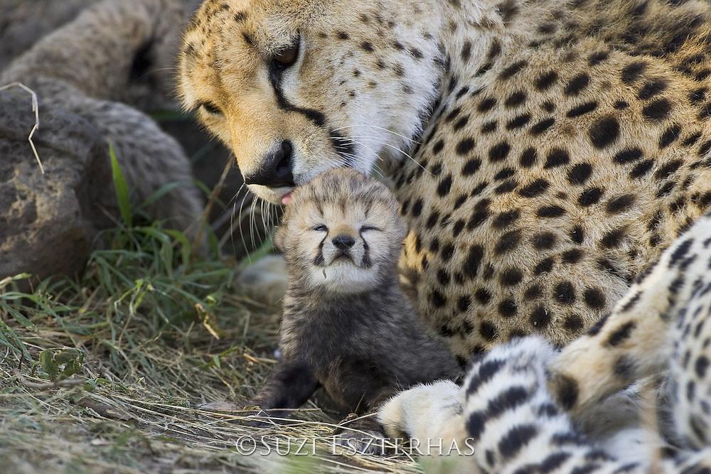 Cheetah<br /> Acinonyx jubatus<br /> Mother grooming 8 day old cub<br /> Maasai Mara Reserve, Kenya