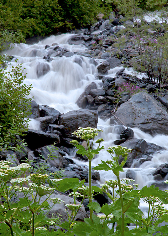 Summer scenic of small waterfall on Crow Creek, Chugach Natl. Forest, near Girdwood. Wildflowers are cow parsnip (Heracleum lanatum) and dwarf Fireweed (Epilobium latifolium).