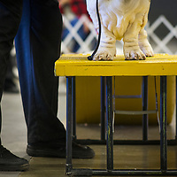 Basset Hounds stand atop a pedestal to be judged during the Shoreline Dog Fanciers Association Holiday Classic dog show in Costa Mesa on Saturday, December  9, 2017. (Photo by Foster Snell, Contributing Photographer)