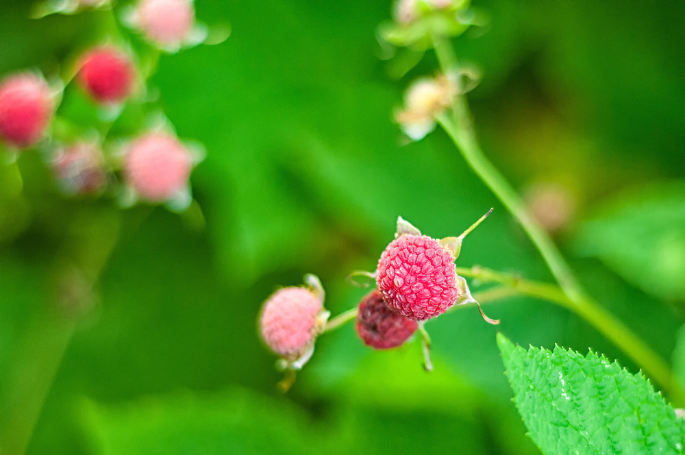 Ripe thimbleberries ready for picking near the Puget Sound about 35 miles south of Seattle, Washington.