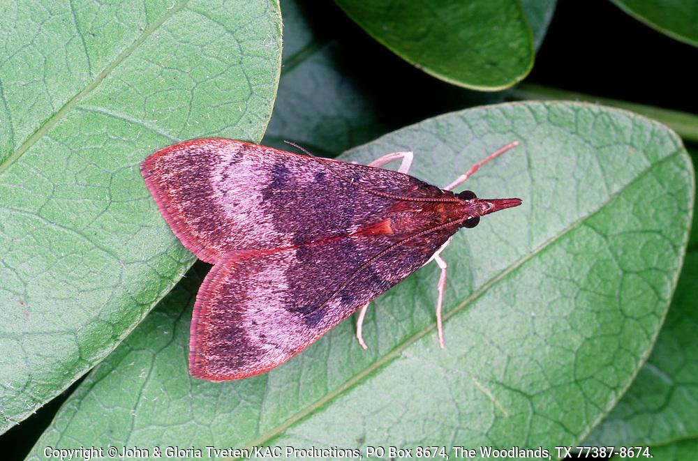 Genista Caterpillar Moth,.Uresiphita reversalis