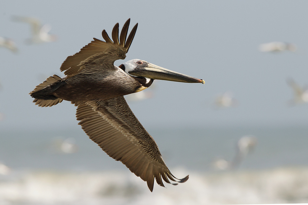 Stock Photo of brown pelican capture in Florida.  The brown pelican is one of the most prominent birds found in the southern United States.