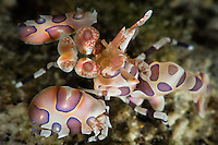 A harlequin shrimp (Hymenocera picts) in its coral home in the Lembeh Straits, Indonesia. They are found at coral reefs in the tropical Indian and Pacific oceans and can reach about 5 centimetres  in length, live in pairs and feed exclusively on starfish, including crown-of-thorns (Acanthaster) starfish. It does seem to prefer smaller, more sedentary starfish, but as these generally are not sufficiently numerous for its needs, it commonly will attack Acanthaster, both reducing its consumption of coral while under attack, and killing it within a few days.<br /> <br /> Nikon D800,