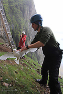 Grad student Dagfinn Breivik Skomsø frees kittiwake from nylon noose after colleague Martin Kristiansen has snagged it from sheer cliff for research on Blomstrand island; Kongsfjorden, Svalbard.