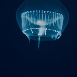 Jelyfish, unknown, amphipod, unknown