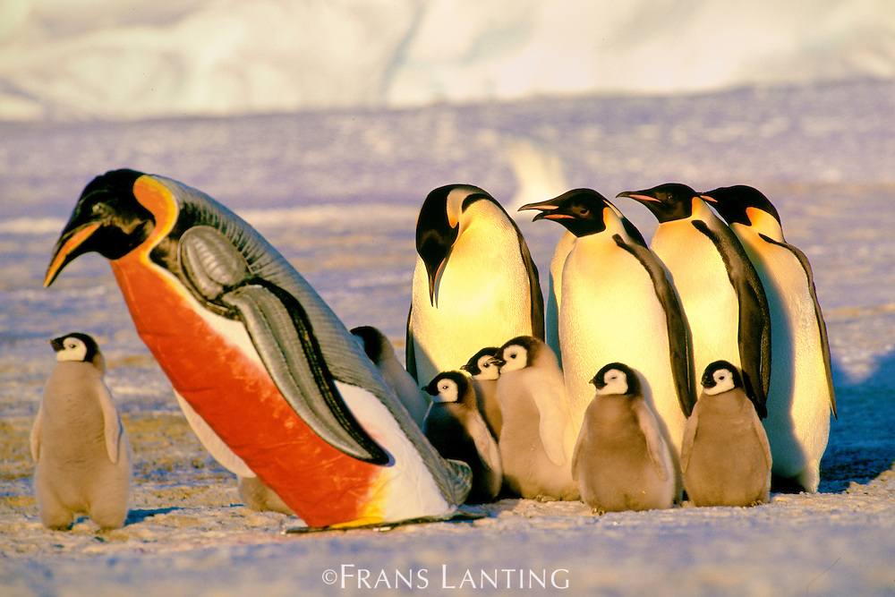 Emperor penguins gathered near painted penguin dummy, Aptenodytes forsteri, Weddell Sea, Antarctica