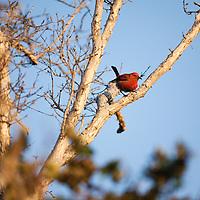 TNC Big Island Honomalino Preserve, Apapane