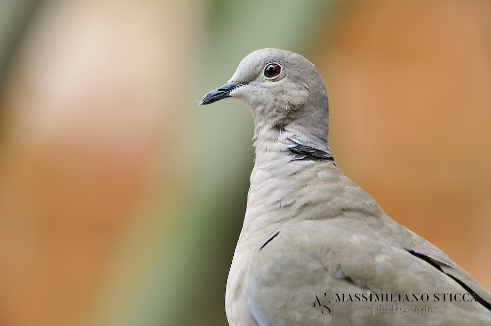 The Eurasian Collared Dove (Streptopelia decaocto) most often simply called the Collared Dove, also sometimes hyphenated as Eurasian Collared-dove is a species of dove native to Asia and Europe, and also recently introduced in North America.