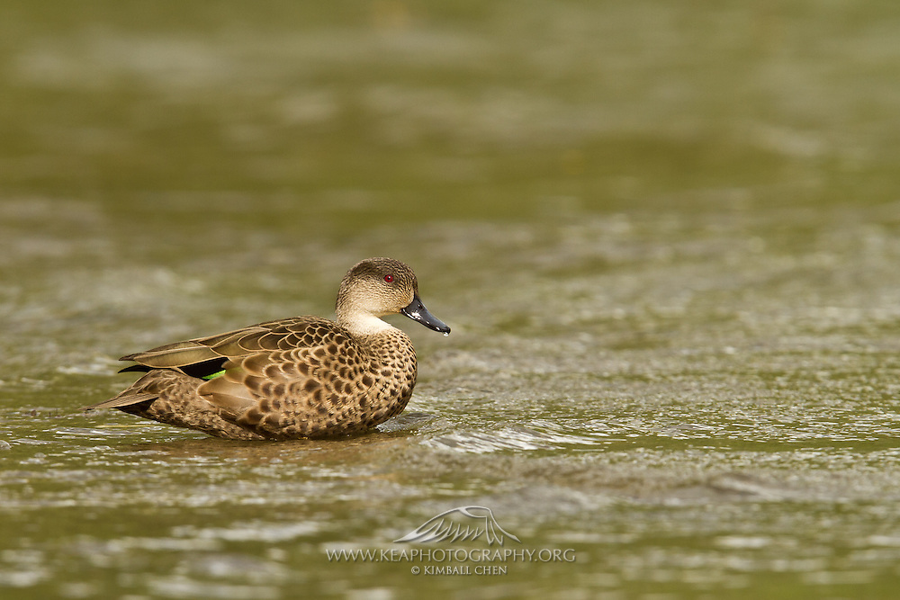 Grey Teal feeding at low tide at Lake Wakatipu, New Zealand