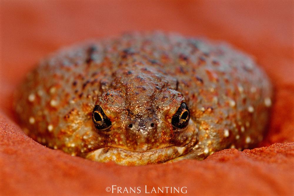 Desert spadefoot toad emerging from sand, Notaden nichollsi, Central Desert, Australia