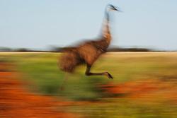 A motion blur of an emu (Dromaius novaehollandiae) running across a gibber plain,  Sturt Stony Desert,  Australia