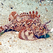Plumed Scorpionfish inhabit areas of sand mixed with algae in Tropical West Atlantic; picture taken Blue Heron Bridge, Palm Beach, FL.